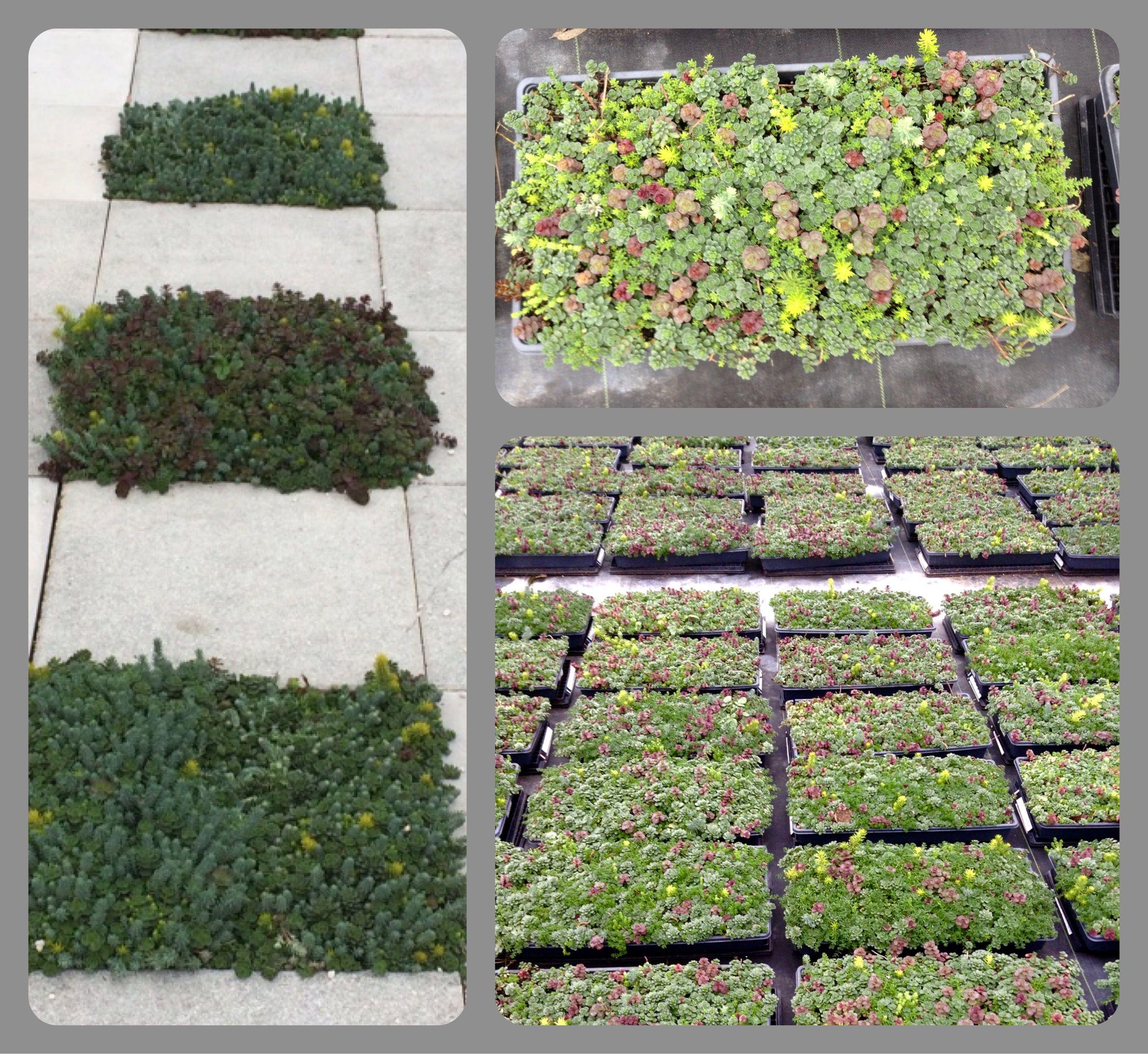 Sevillefarms Succulents Sedum Plants