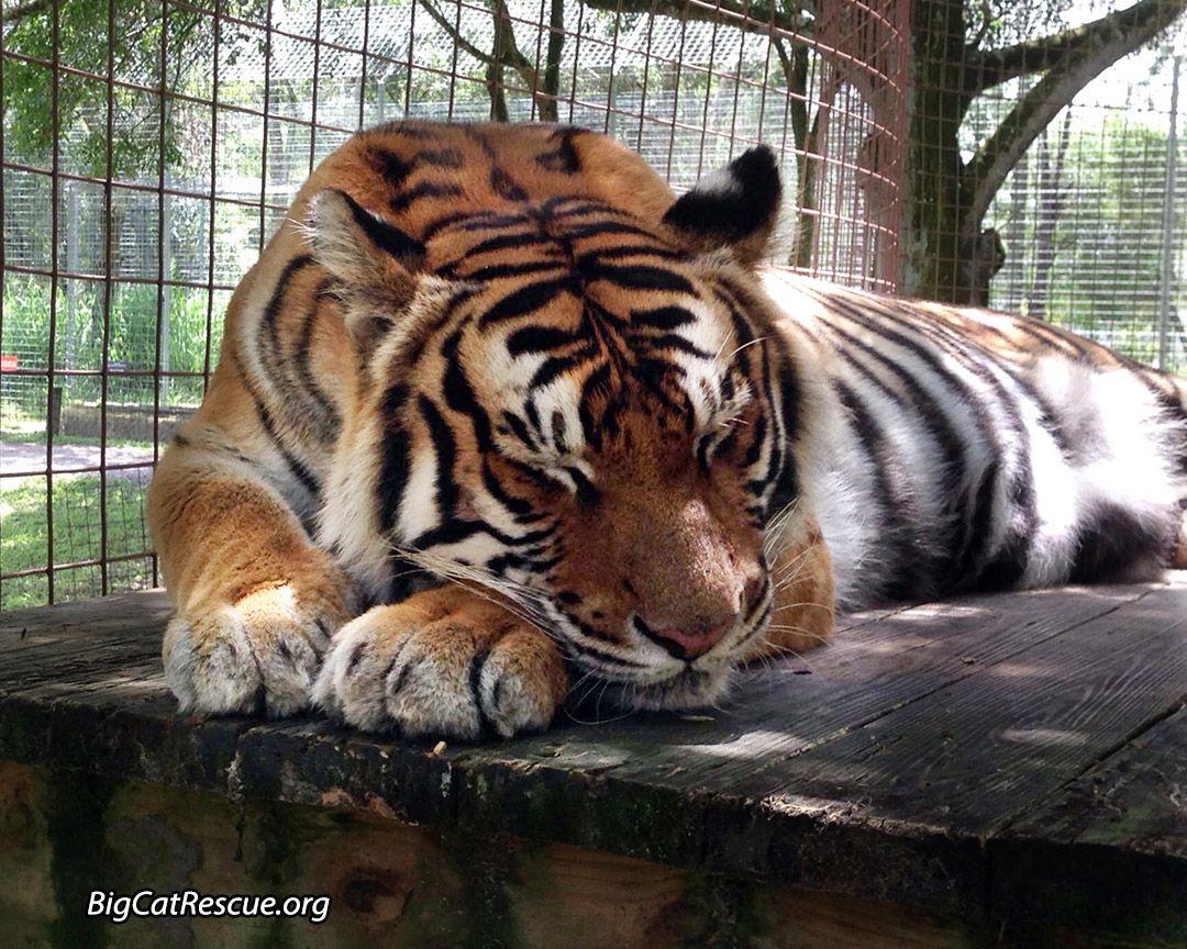 "Sleepy Priya Tiger says, ""Sleep well friends, chuff at you"