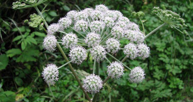 Cicuta | Plantas, Flores