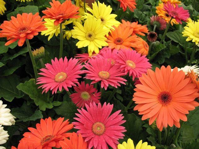 Gerbera Daisy Super Size Giant Gerbera Daisy Gerbera Daisy Amazing Flowers Gerbera