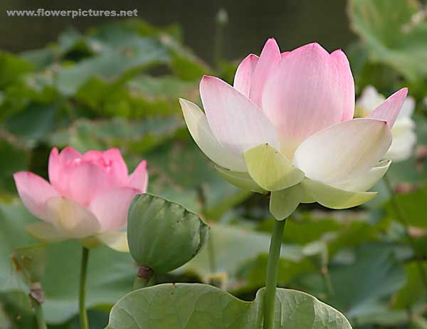 Pretty lotus flower flower and gardening pinterest lotus pretty lotus flower mightylinksfo