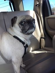 Adopt Chloe On Pug Rescue Pug Dog Dogs