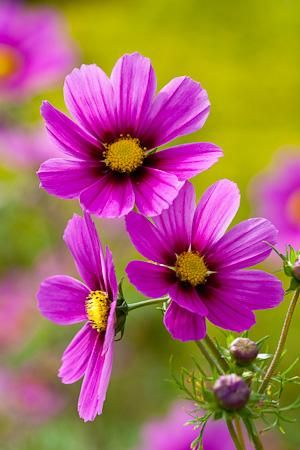 Cosmos Versailles Tetra Love Love Love Annual Flowers Cosmos Flowers Flowers Nature