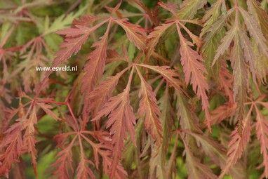 Acer palmatum 'Dai'