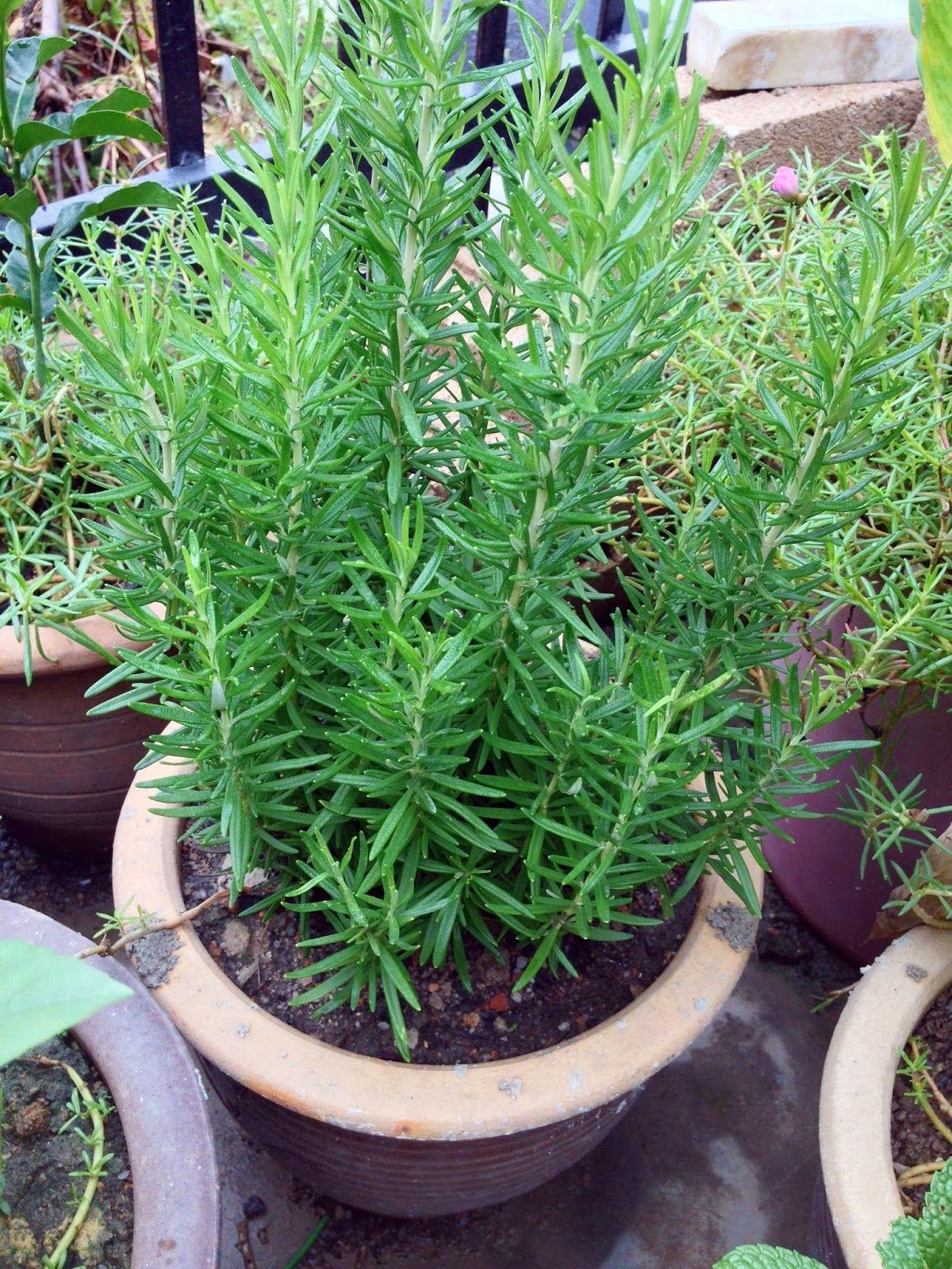Khasiat Pokok Rosemary Rosemary Herbs Plants