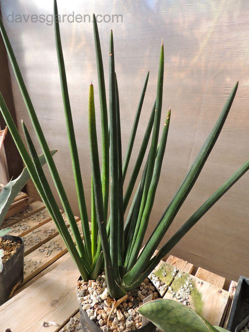 Full size picture of Sansevieria (<i>Sansevieria erythraeae</i