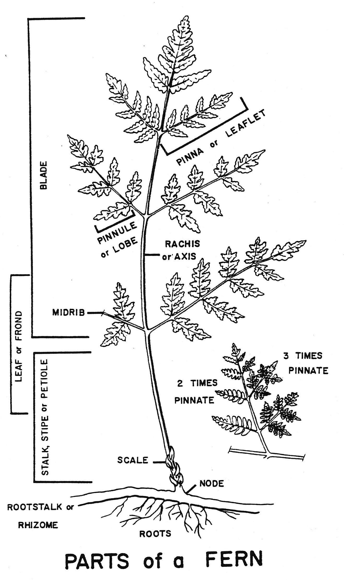 Biogeography Of Swordfern Polystichum Munitum Fern Frond