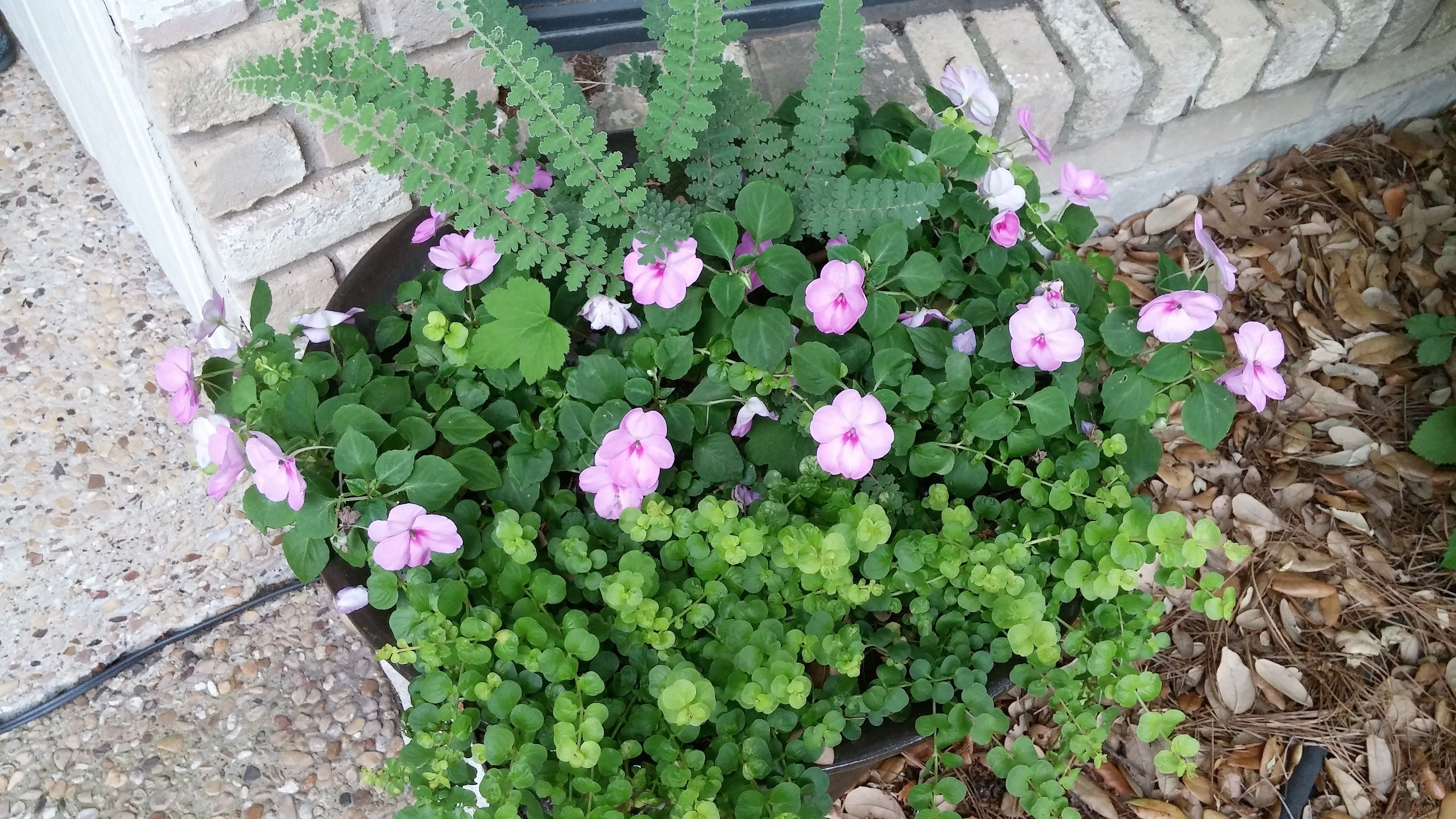 Front Entrance Planter With Wavy Cloak Fern Impatiens And