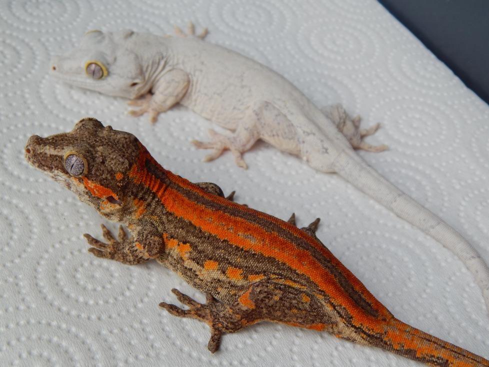 Gargoyle Geckos Gargoyle Gecko Reptiles Pet Gecko