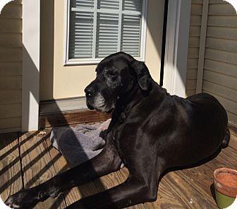 Woodbridge Va Great Dane Meet Onyx A Dog For Adoption Http Www Adoptapet Com Pet 10521873 Woodbridge Virginia Grea Dog Adoption Great Danes For Adoption