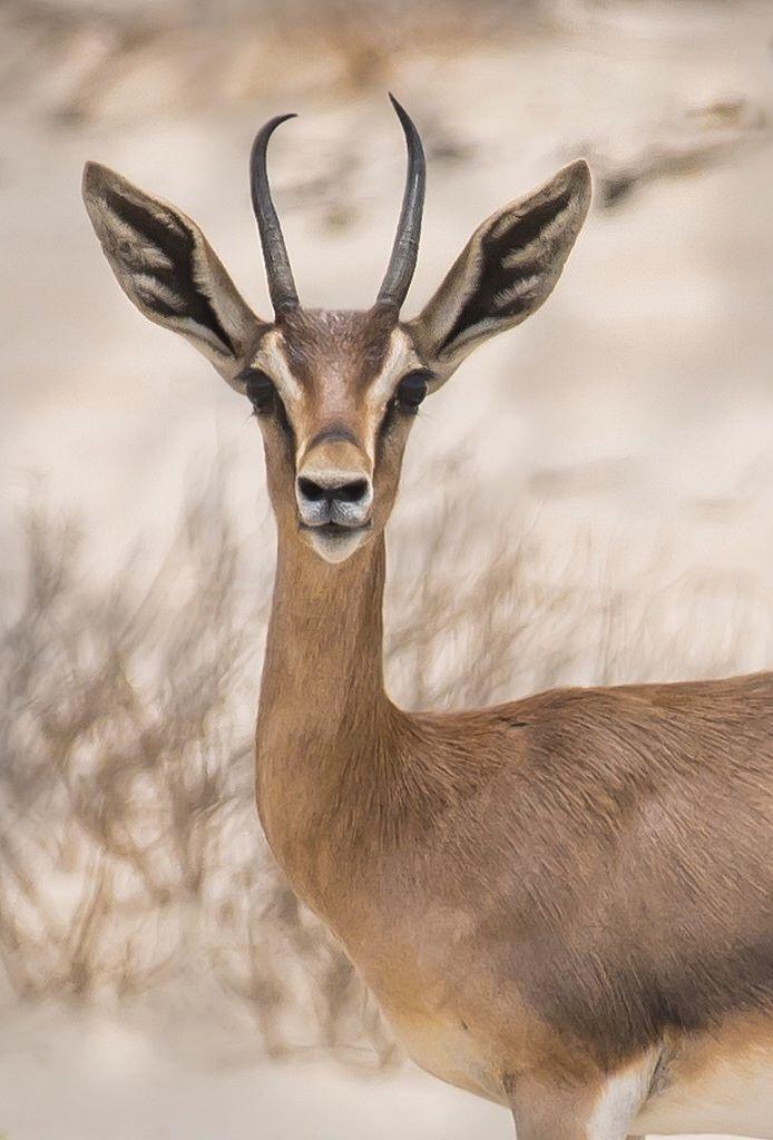 Arabian Mountain Gazelle - Kinan Echtay