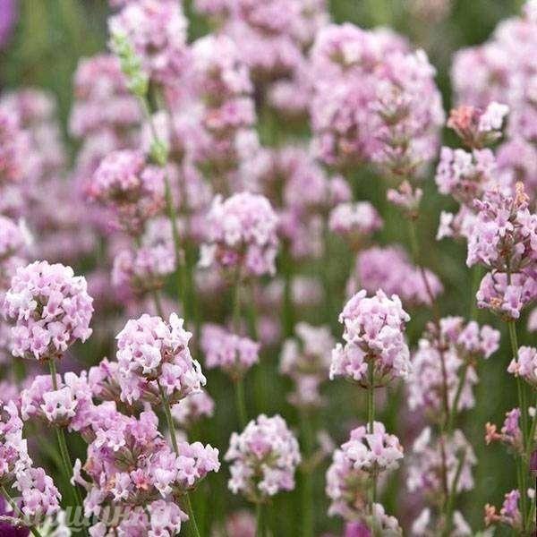 розовые ароматные садовые цветы фото уютным