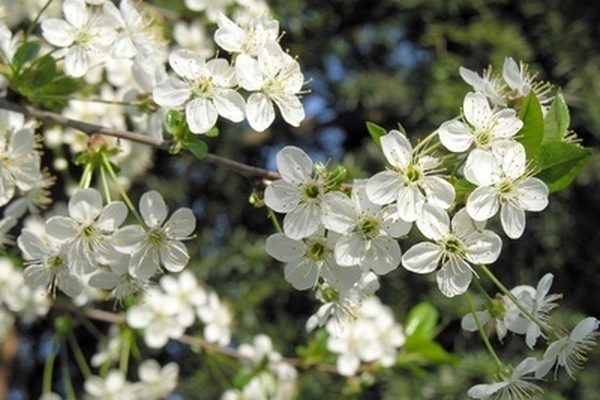 The Princess Kay plum is hard to distinguish from a white dogwood tree.
