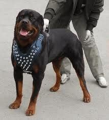 De Luxe Spiked Leather Rottweiler Harness Strongest Handmade