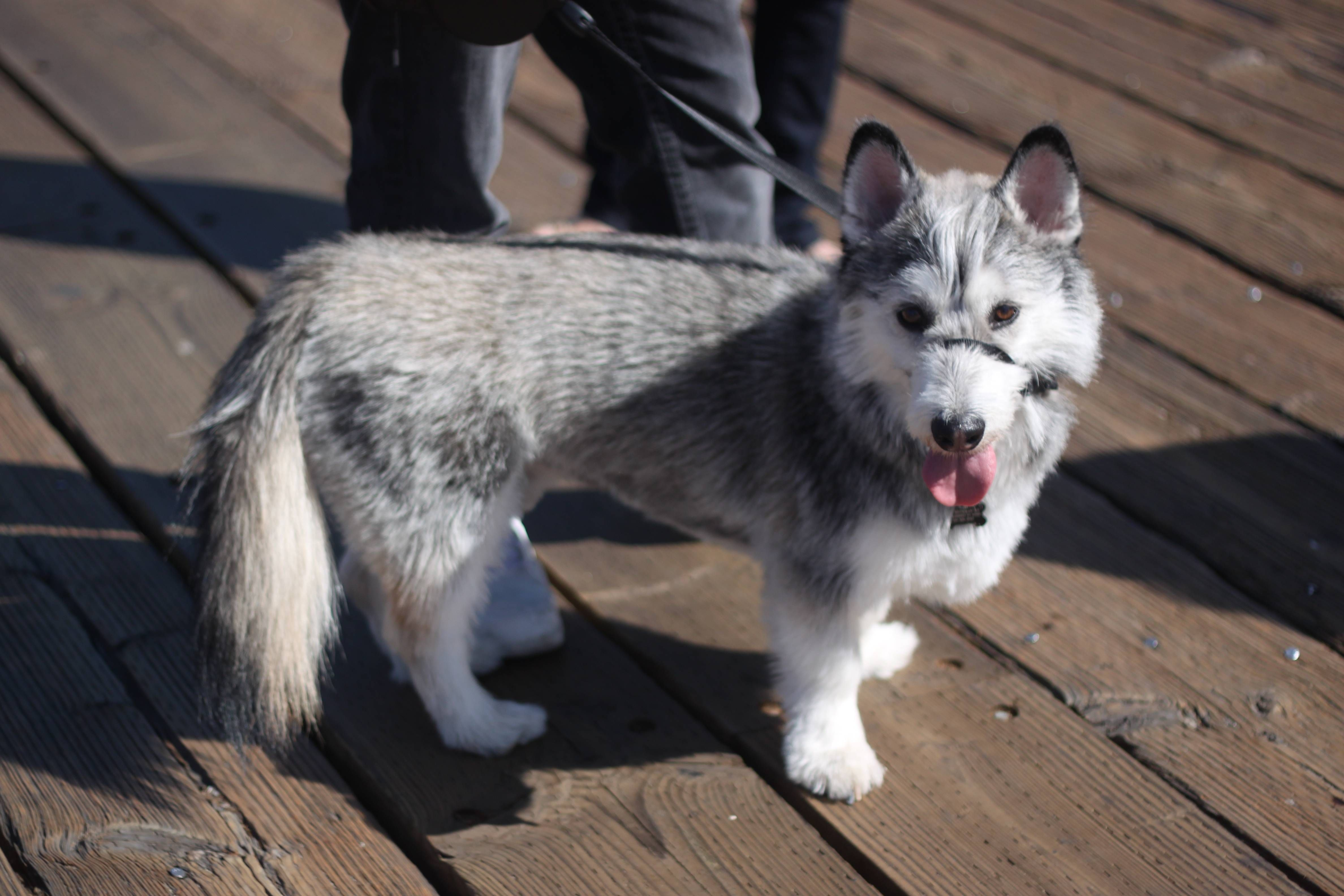 I Saw A Corgi Husky Mix At The Beach Today He Was So Cute Xpost