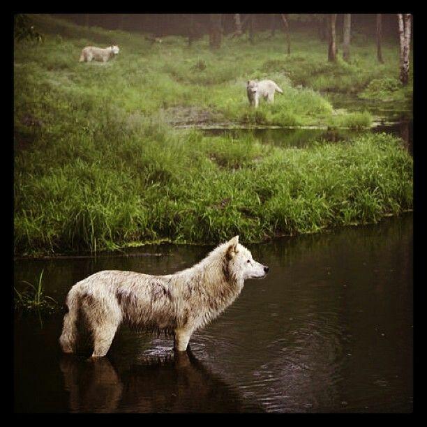 I love wolves!