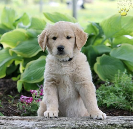 Carla Golden Retriever Puppy For Sale In Paradise Pa