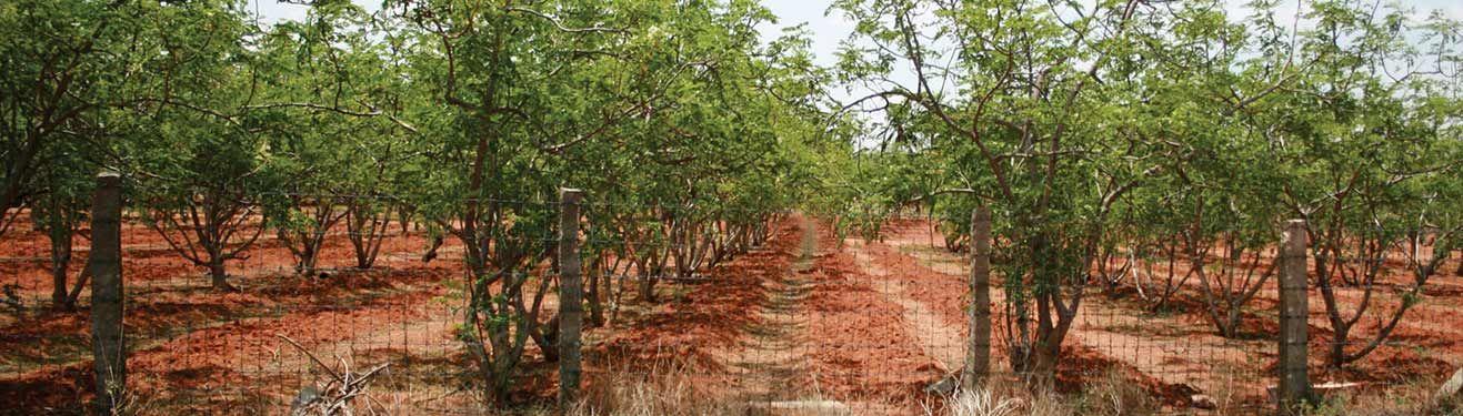 All of Zija's Moringa trees are grown on proprietary farms