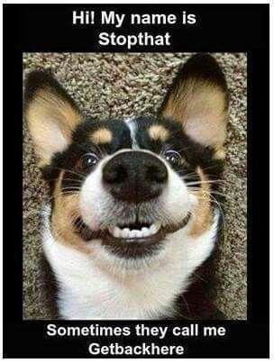 Bad Dog No Biscuit I M Sending You To Brandon Mcmillan Corgi Semuanya Lucu Lucu