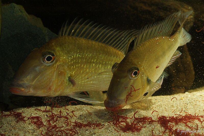 Satanoperca Rhinchytis Red Lips Aquarium Fish Tropical Aquarium