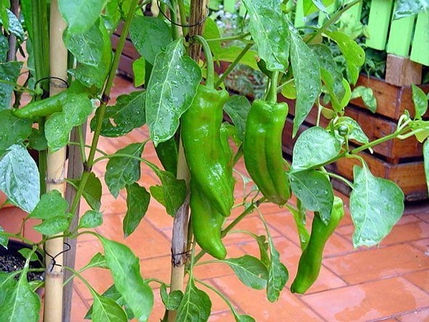 Cómo Cultivar Pimientos De Freír En Una Maceta Plantar Pimientos Cultivo De Plantas Cultivo Del Pimiento