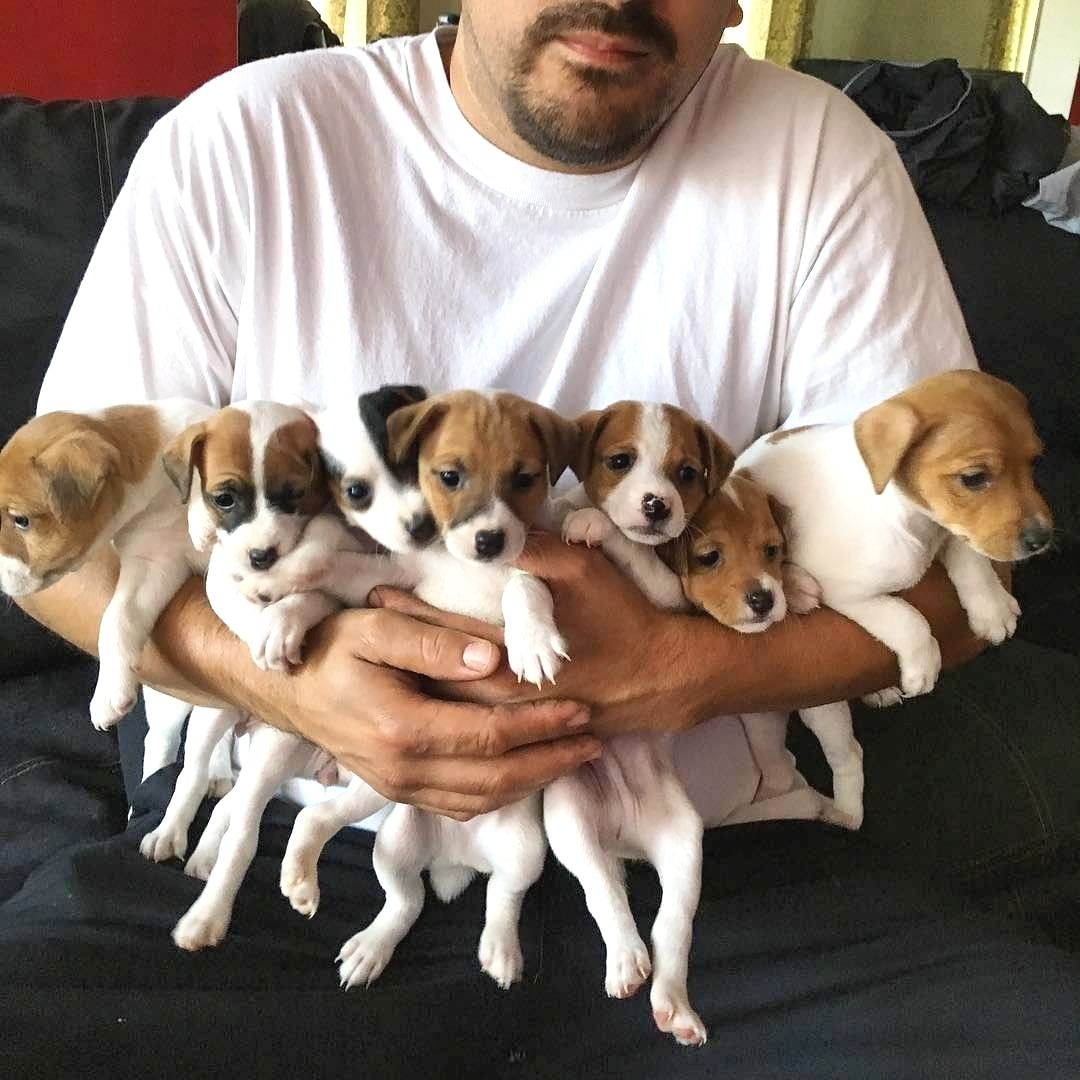 I Want Them All Jack Russell Terrier Puppies Jack Russell