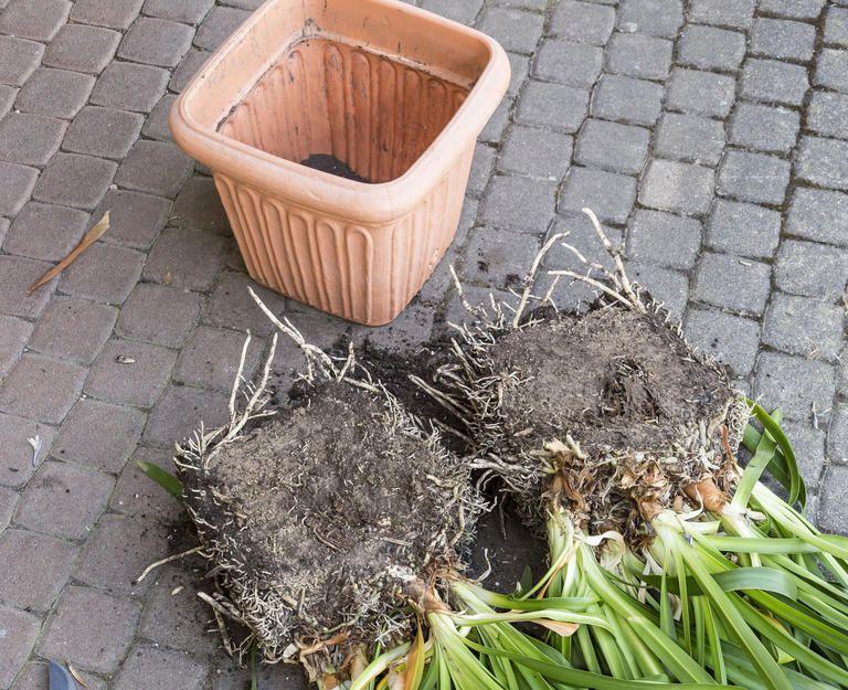 Schmucklilien Teilen In 2020 Schmucklilie Lilien Garten