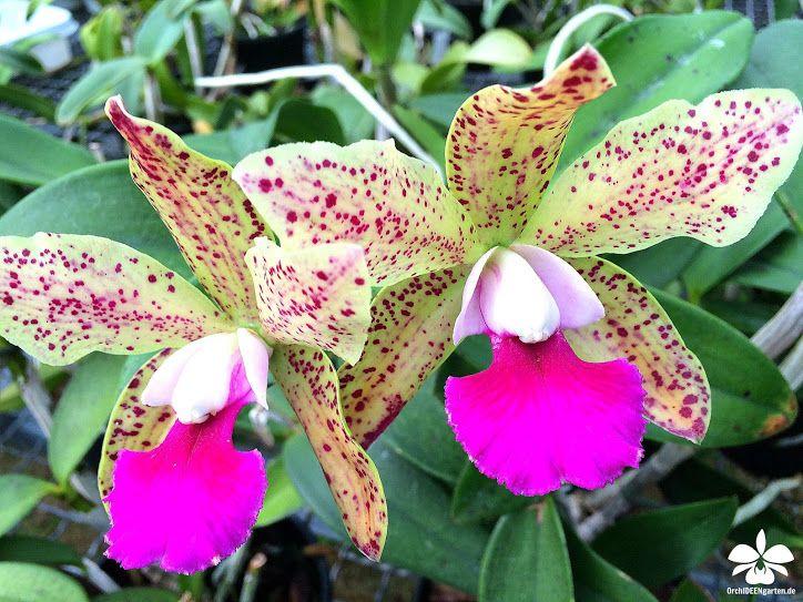 Orchideen aus dem Orchideengarten Karge