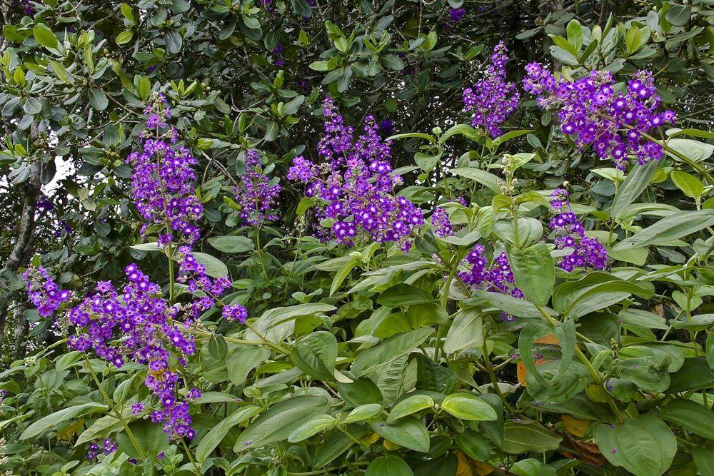 Resultado de imagen para arbustos de venezuela - Arbustos de jardin ...