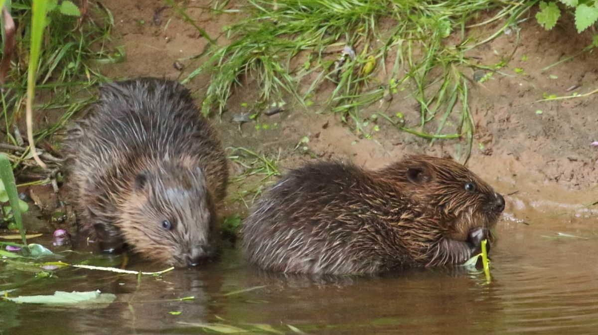 England 039 S First Wild Beavers For 400 Years Can Stay In 2020 Beaver England Wild