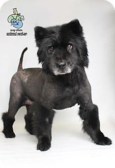 Akita Chow Dog Breed Information And Pictures Chow Dog Breed