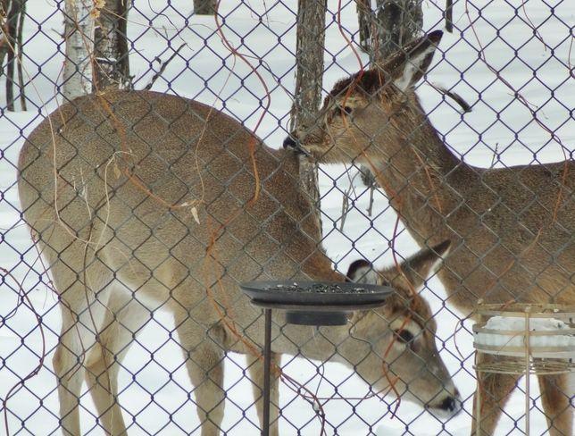 Deer at noon meal