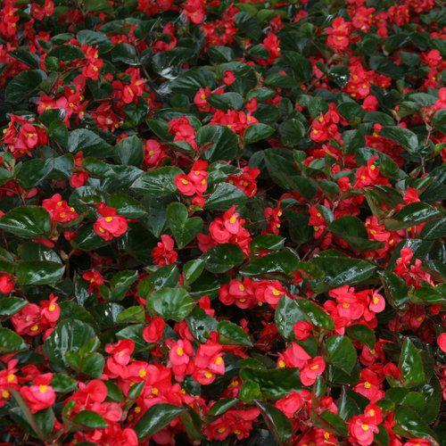 Surefire Red Begonia Benariensis Proven Winners Plants Shade Flowers Begonia