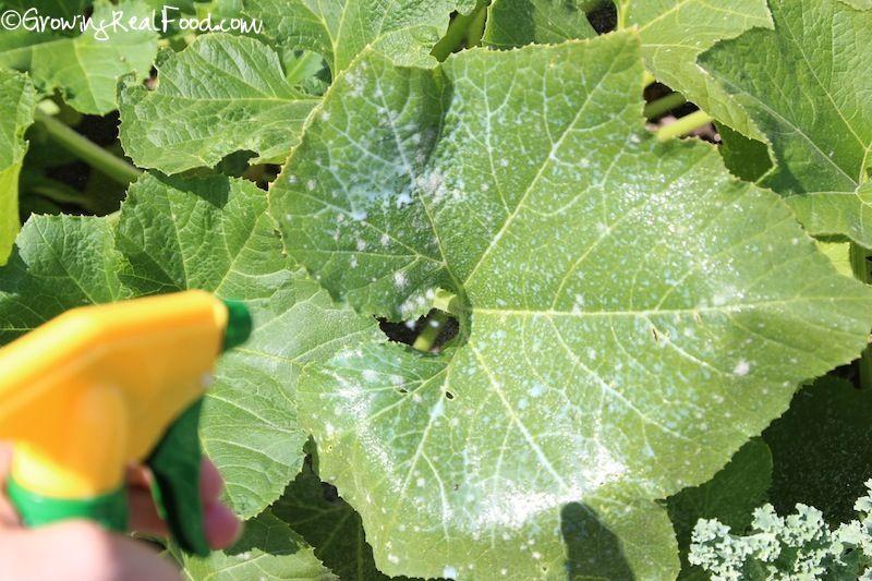 54a052c581ea659e153efbd5302b61a3 - How To Get Rid Of White Mold On Cucumber Plants