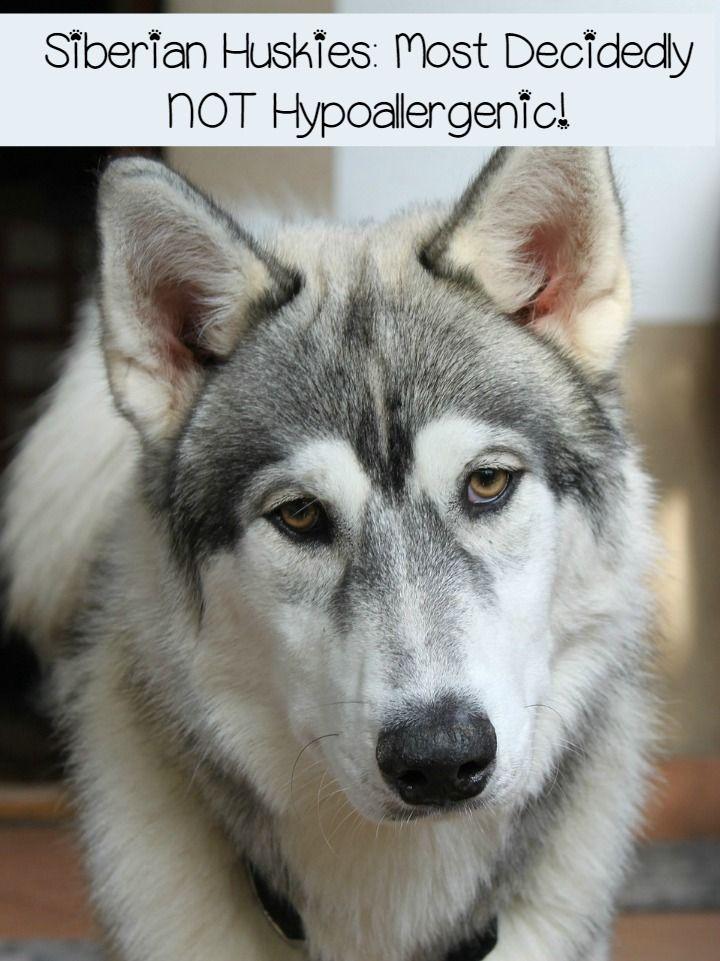 Siberian Huskies Fur Factories Far From Hypoallergenic Talking