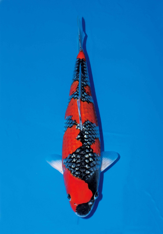 Pin Oleh Mark Snyder Di Koi Ikan
