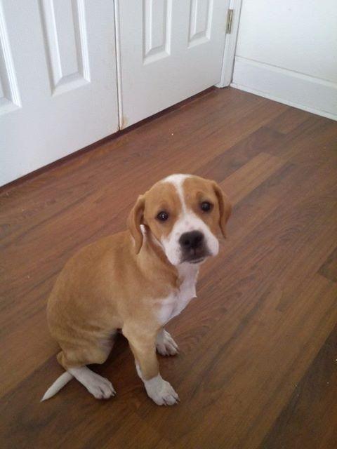 Adopt Logan On Adoption Pug Mix Beagle
