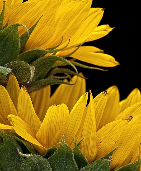 全部尺寸 | Sunflowers | Flickr - 相片分享!