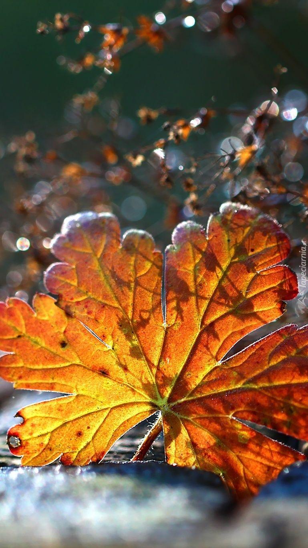 Jesienny Lisc W Sloncu Plant Leaves Plants Leaves