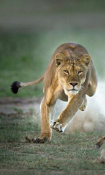 Sulki  Lioness  Smart  Very swift  Name means Swift One  She