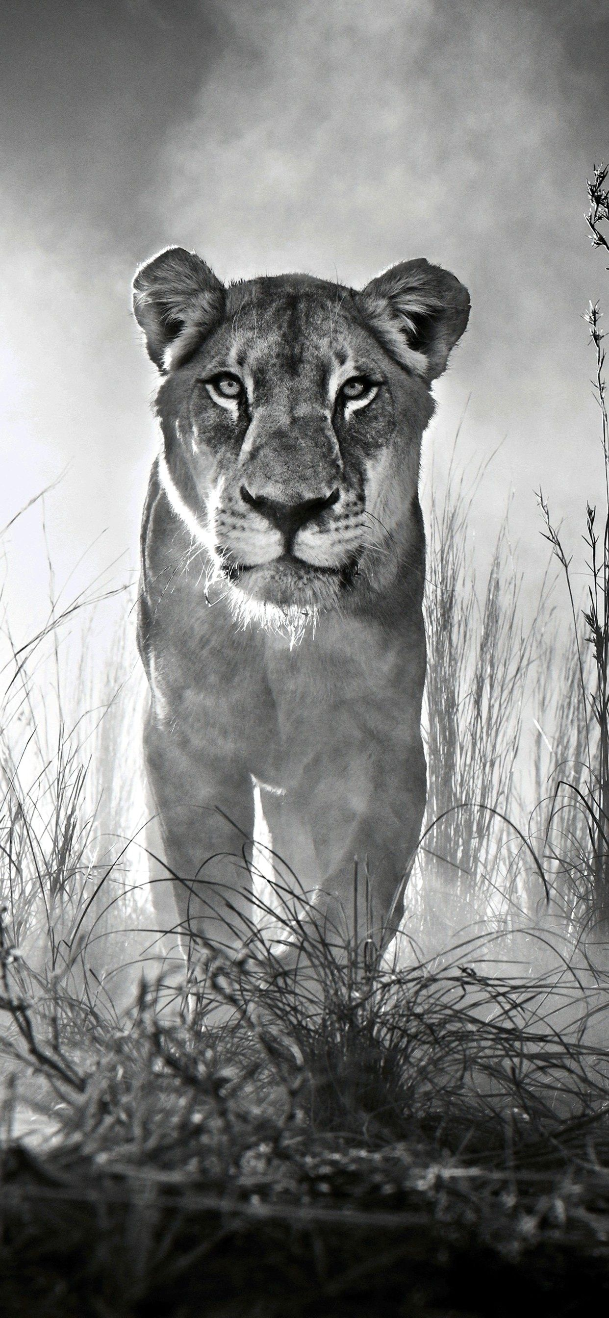 Iphone Wallpaper 4k Black And White Gallery Lion Pictures Lion Wallpaper Animal Wallpaper