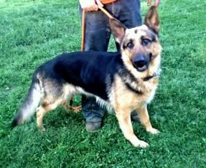 Adopt Jerry Lee On German Shepherd Dogs Detective Movies