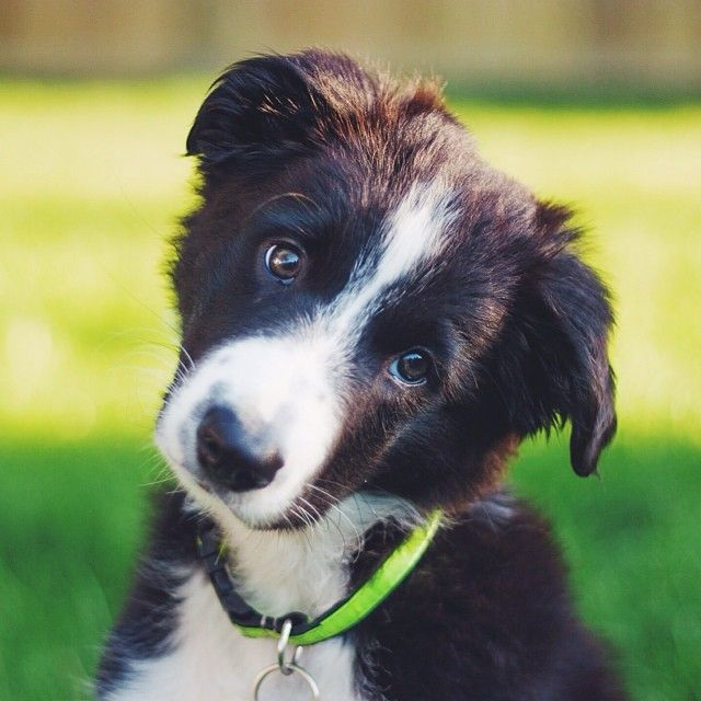 Border Collie Pup Giving The Puppy Dog Eyes Border Collie