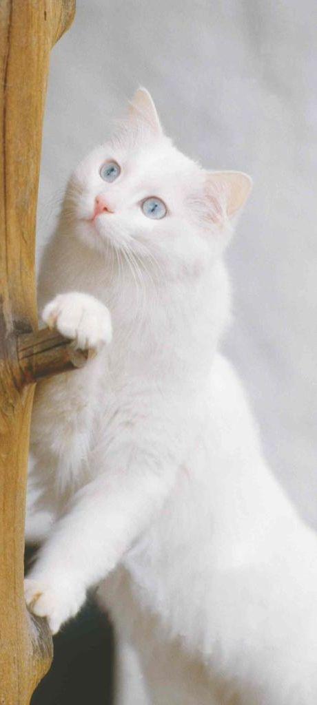 Beautiful White Cat With Blue Eyes Beautiful Cats Pretty Cats Cat With Blue Eyes
