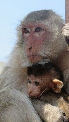 Lopburi la ville des singes rois dans le nord de la Thailande