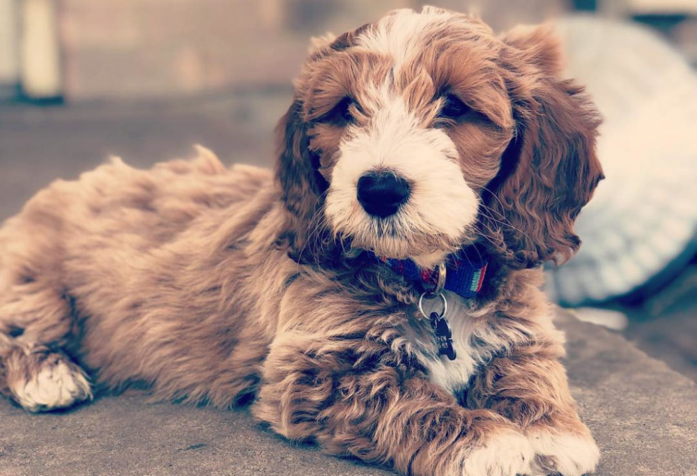 12 Amazing Things About Doxiepoo Dachshund Poodle Mix