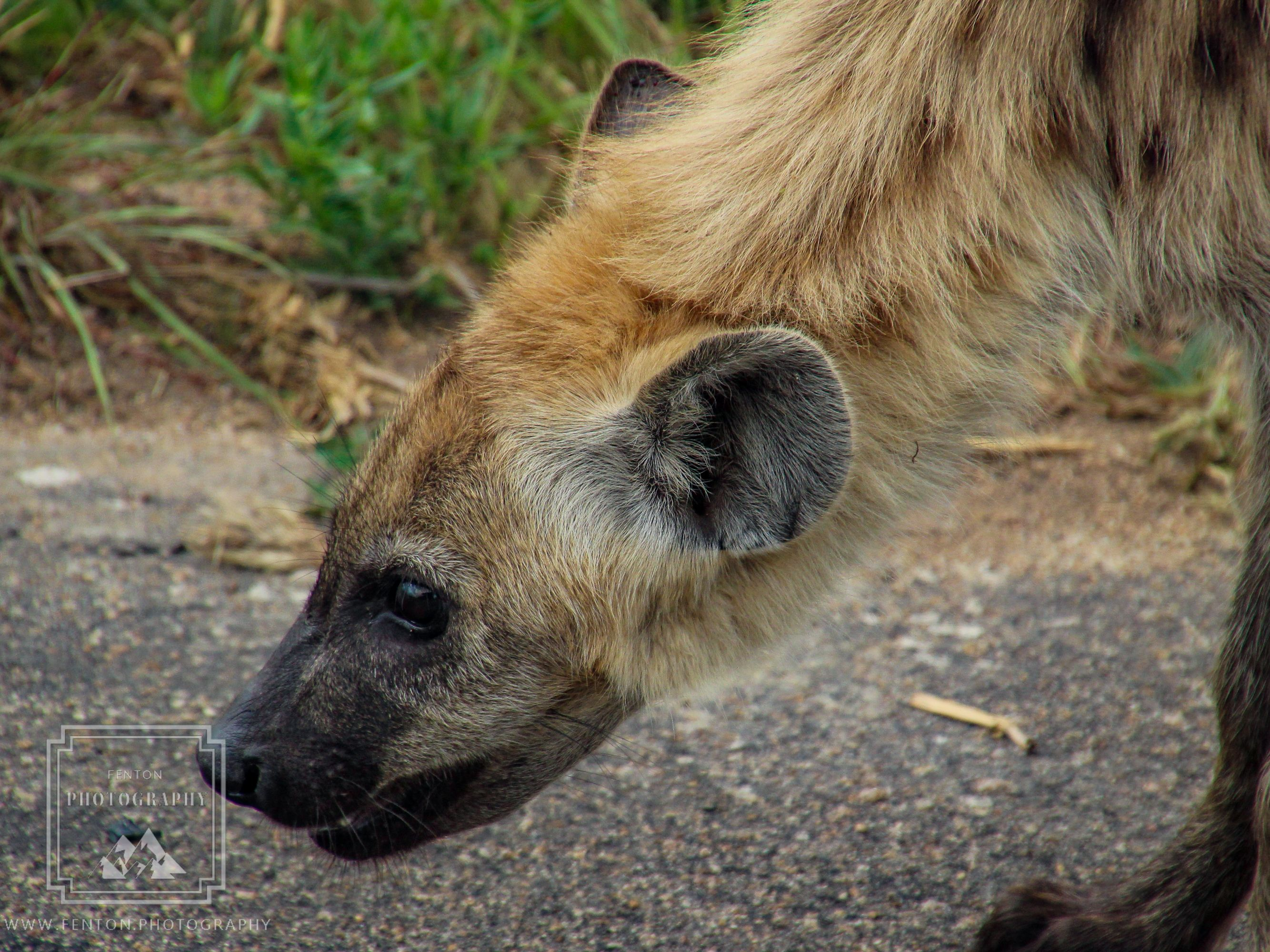 Another one of the Ugly 5 - This hyena was the only one that we saw on our safari.  #ugly_5 #hyena #wildlife #wild_animal #fauna #ears #safari @KrugerNational @SouthAfrica #SouthAfrica @gadventures @NatGeo @NatGeoTravel @natgeoyourshot