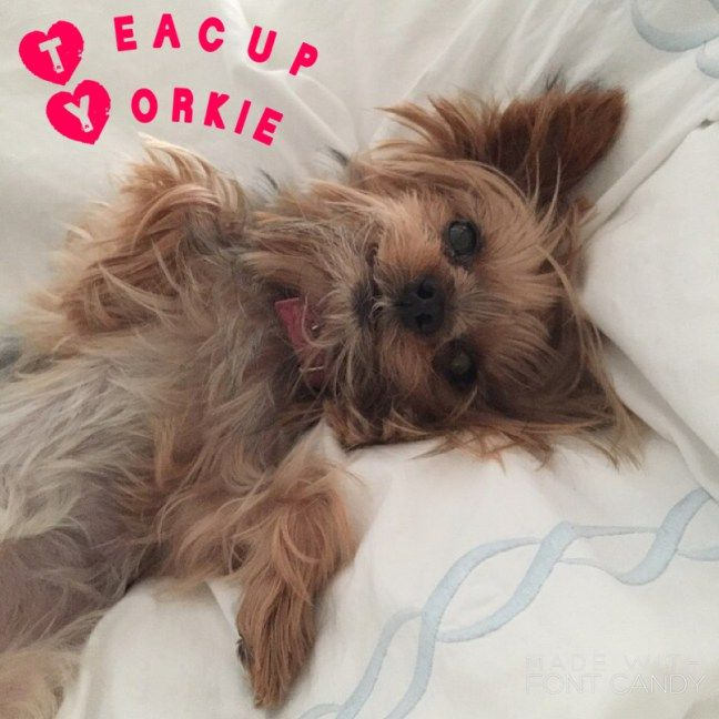 Awesome Teacup Yorkie Facts Info Lifespan Dogs Pinterest