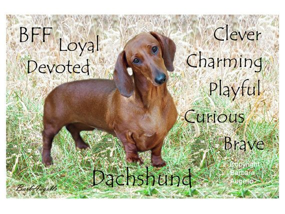21 Things About Dachshunds Every Owner Should Know Dachshund