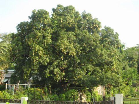 Tree_Large_ Common Mango